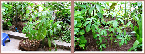 Replanting our potted Cheilocostus speciosus (Crepe Ginger) - Oct 8 2013