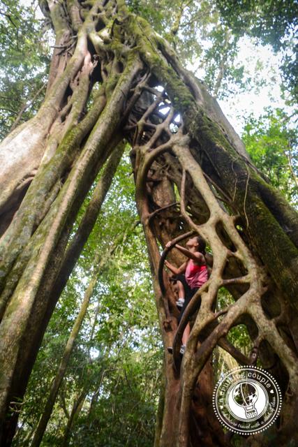 Ficus tree Monteverde Costa Rica
