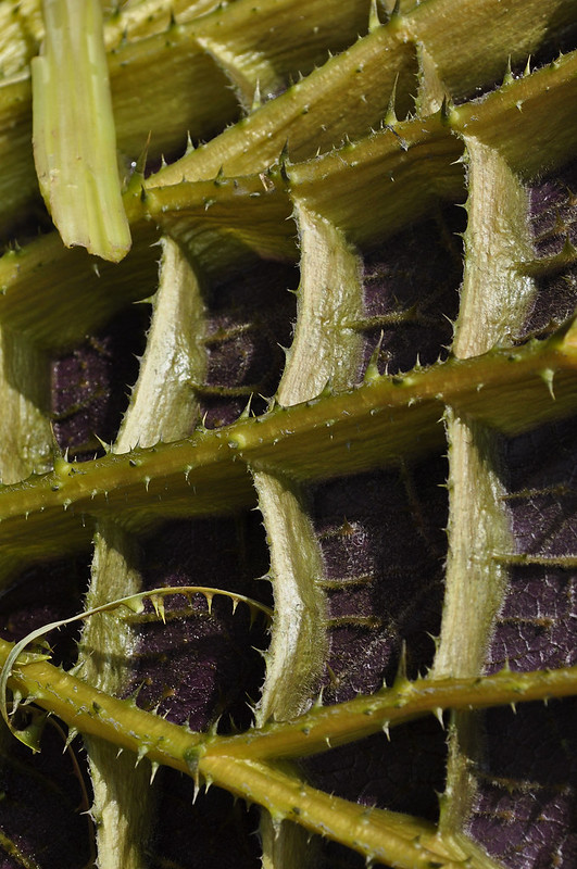 Conservatory - Waterlily Display -  Victoria Underside