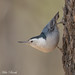 White-breasted Nuthatch (Sitta carolinensis) by Mike Barth
