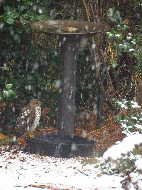 Cooper's Hawk in snow6 12:10:13
