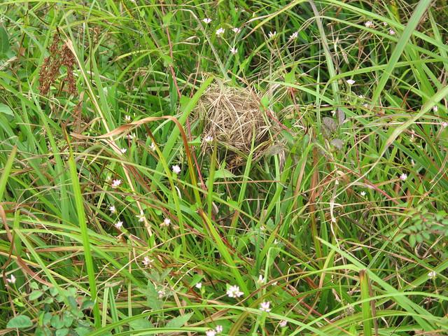 霧ヶ谷湿原で見つけたカヤネズミの巣.