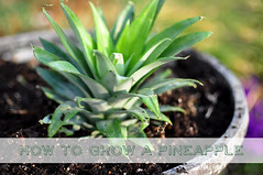 1 how to grow a pineapple top