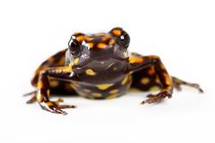salamander(0.0), animal(1.0), amphibian(1.0), frog(1.0), fauna(1.0), european fire salamander(1.0),