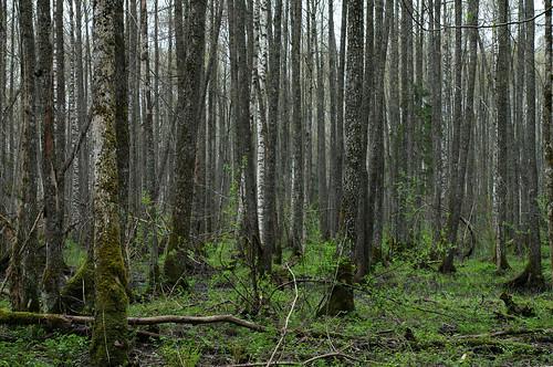 trees forest estonia pentax mets puud eesti k7 soomaa viljandimaa soomaanationalpark soomaarahvuspark pentaxk7 kõpuvald