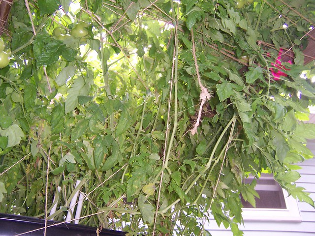 Growing Tomatoes In A 18 Inch By 24 Inch Square Foot