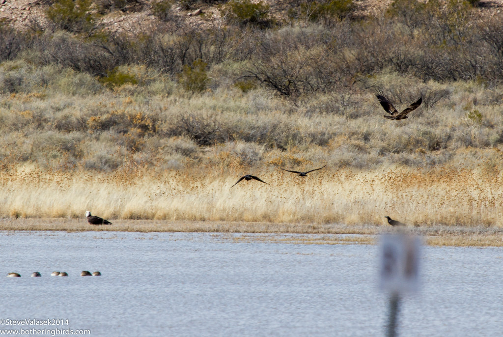 Eagles at Bosque del Apache
