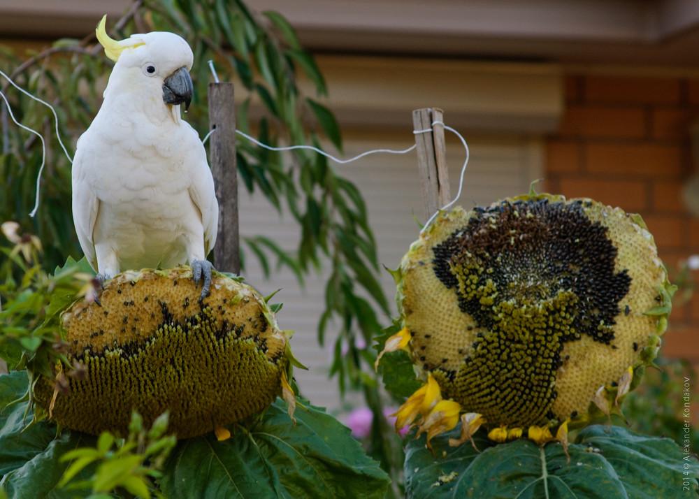 Sulphur-crested Cockatoo