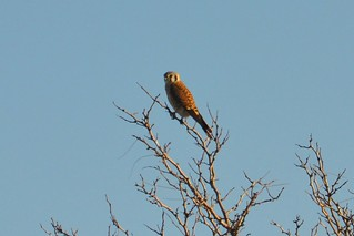 Kestrel enjoying the sunset