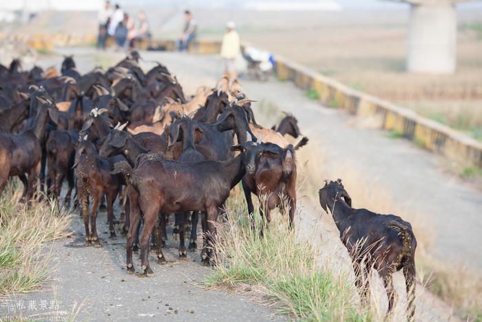 台南私藏景點--學甲寮平和里 X 蜀葵、小麥、羊群、老厝群 (51)