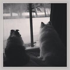 Watch dogs. #sheltie #eskie #ilovemydogs #dogsofinstagram #americaneskimodog #shetlandsheepdog