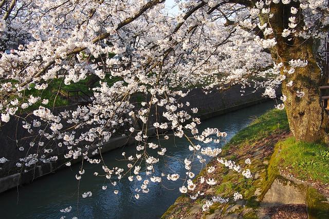 カメラ館前の桜 Cherry tree front of the camera museum
