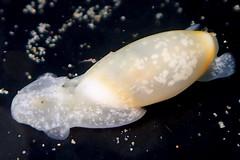 ヨワタマゴガイ Aliculastrum debile