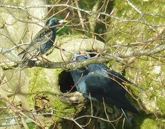 Jackdaw attack starling nest