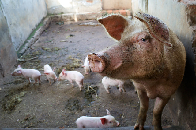 Cross breed sow and piglets on a farm in Masaka district, Uganda