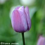 Tulip Violet Beauty