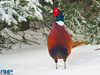 Colorful Pheasant by Rodney Hickey Photography