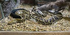 Memphis Zoo 08-31-2016 - Burmese Python 3