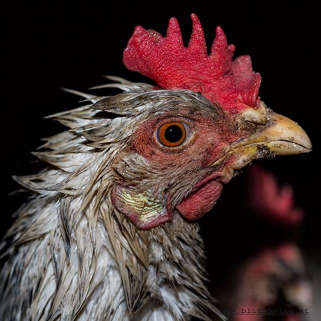 Huhn im Regen