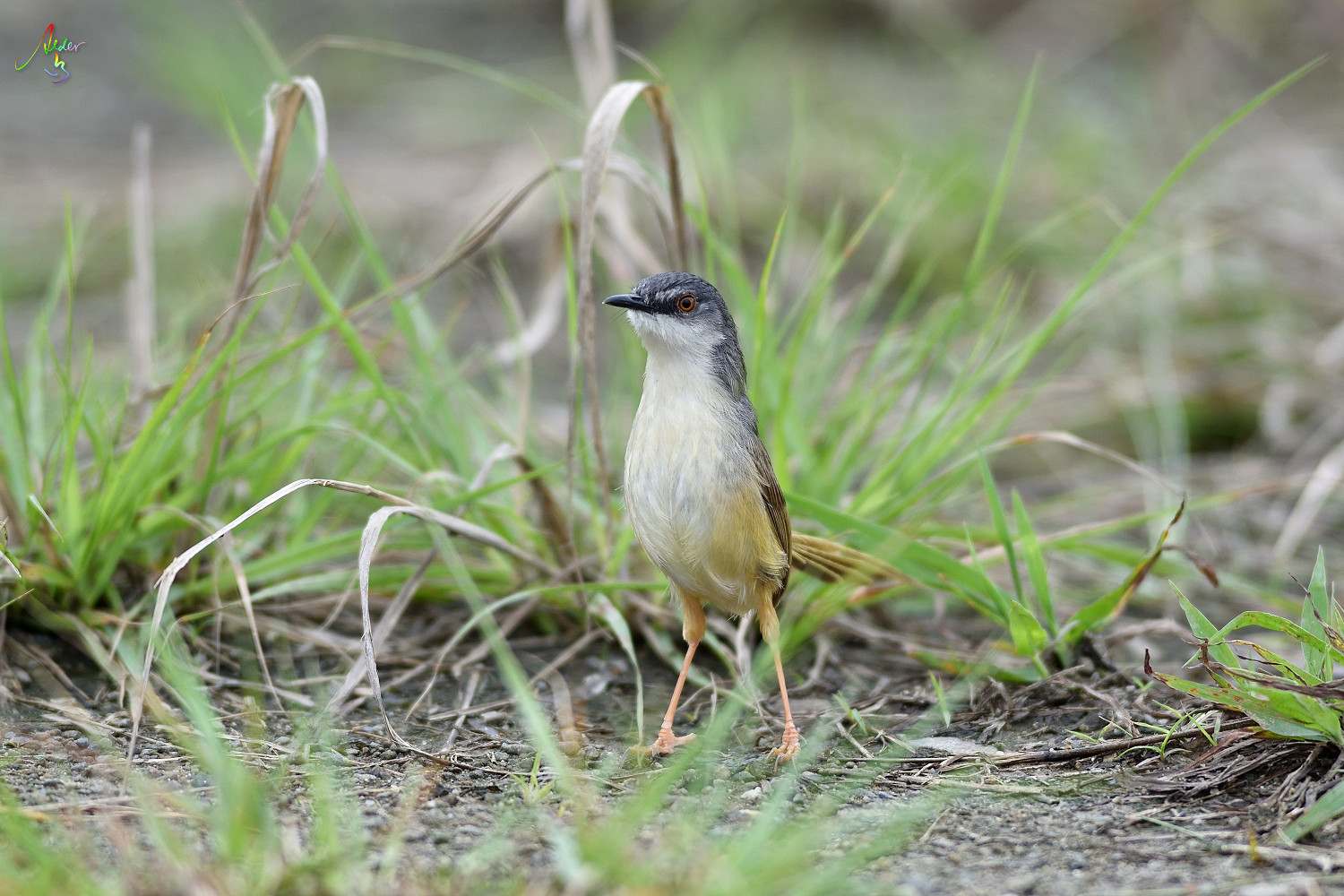 Yellow-bellied_Prinia_3498