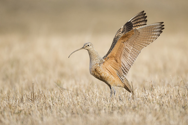 Long-billed Curlew Wing Stretch, Canon EOS-1D X, Canon EF 800mm f/5.6L IS