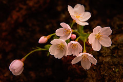 Delicate Japanese Cherry