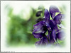 Monkshood 2