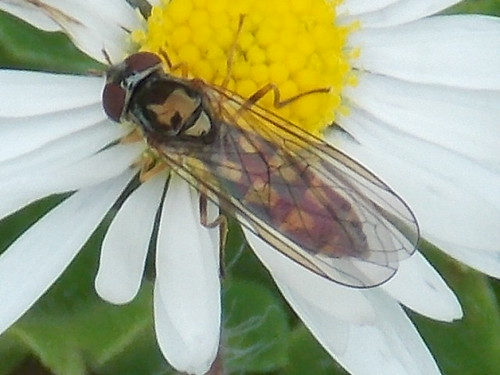 fly on the daisy