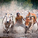 Cow Race Indonesian