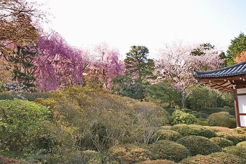 【写真】2013 桜 : 龍安寺/2020-01-22/IMGP9838