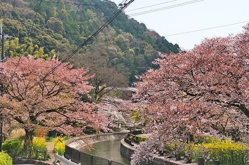 【写真】桜 : 山科疎水