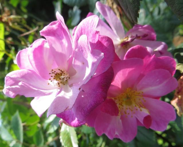 au jardin roses lavender dream bosdarros b arn. Black Bedroom Furniture Sets. Home Design Ideas