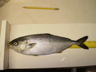 Fish farm 2 - California yellowtail