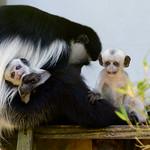 Colobus Monkey Babies