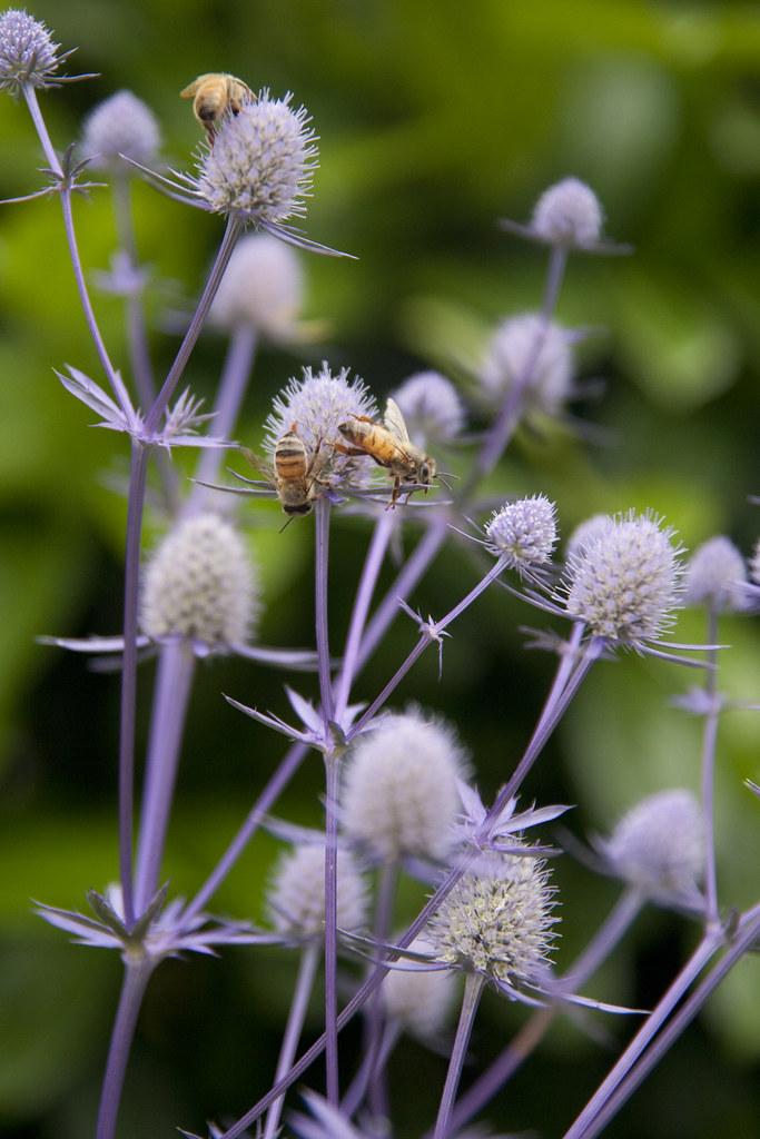 Floramagoria bees on eryngium