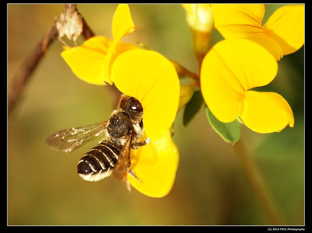 Megachilid bee visiting Bird's-foot Trefoil