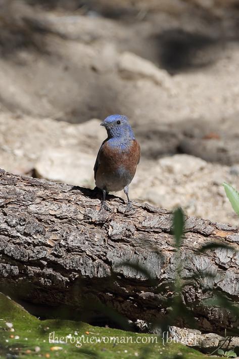 081813_bird_bluebird02
