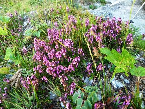 Teucrium chamaedrys=Germandrée petit chêne