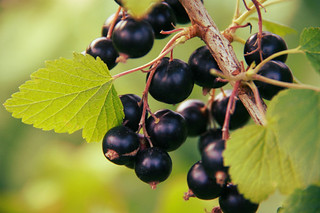Blackcurrants | by The Garden Smallholder