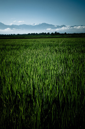 Rice by maurovacca
