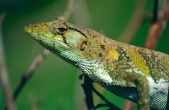 Common Monkey Lizard (Polychrus marmoratus)