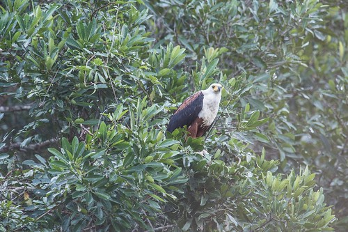 African fish eagle taken from dugout
