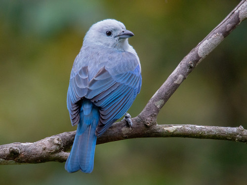 Thraupis episcopus (Blue-gray Tanager/Azulejo)