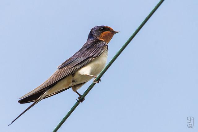 White-bellied Barn Swallow (Hirundo rustica rustica), male-5620.jpg