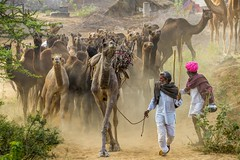 Camel traders leads their herd