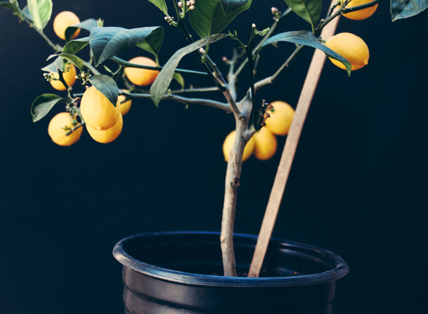 lemon tree, lemon tree black background, porch plants, potted lemon tree, meyer lemon