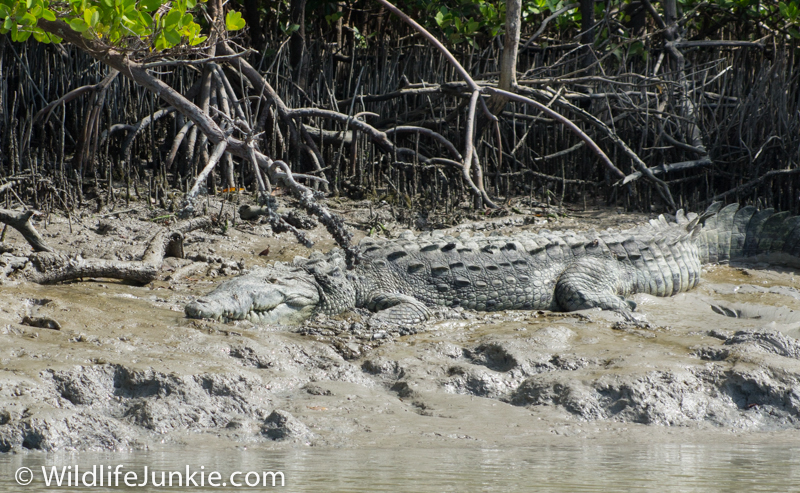 Crocodile in Florida Everglades