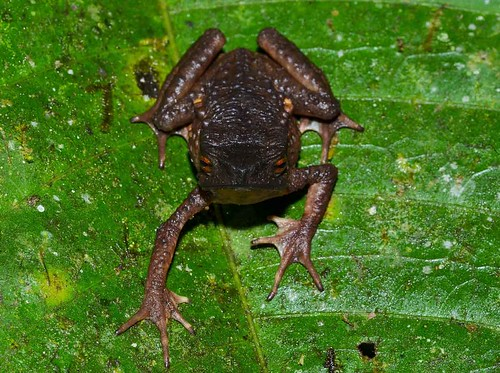<I>Andinophryne olallai</i> Andinosapo de Olalla