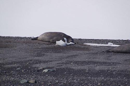 087 King George Island - Zodiaccruise Zeeolifant
