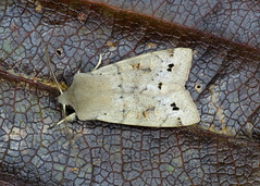 2189 Twin-spotted Quaker - Orthosia munda